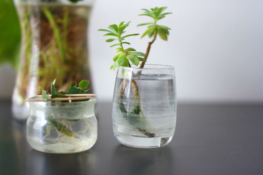 Réaliser une bouture dans l'eau