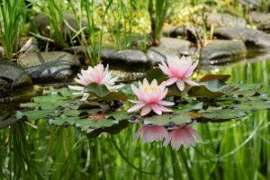 Plantes aquatiques: Nénuphars roses