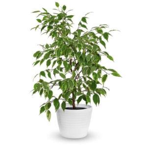 Ficus - Plante à adopter dans sa salle de bains - Bioflore