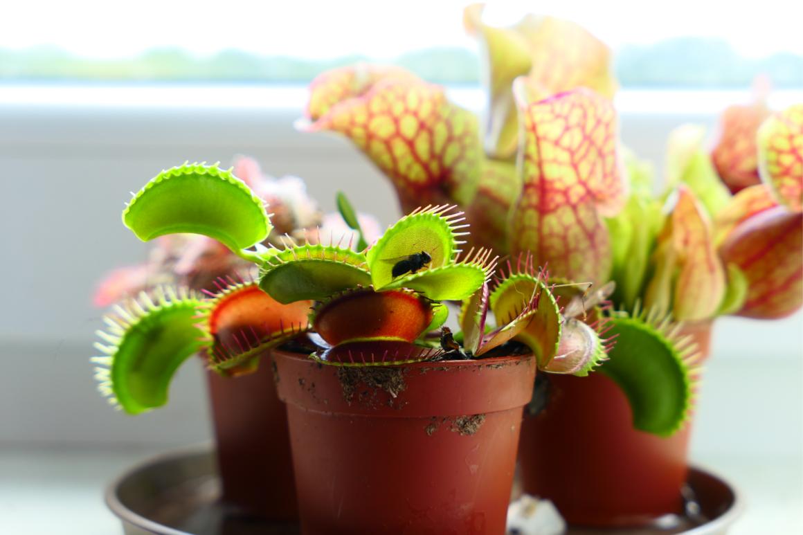 Les plantes carnivores à adopter chez soi