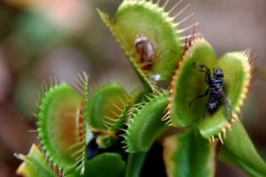 Dionée - Plante Carnivore - Bioflore