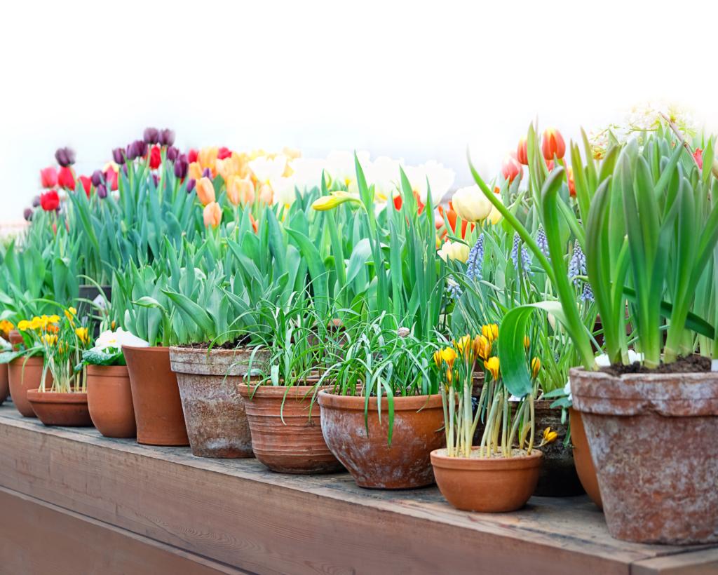 Tulipes en pots - Conseils Bioflore - Votre Jardin Bio