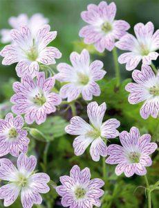 Geraniums vivaces - Bioflore