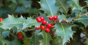 Houx - Plantes et fleurs qui fleurissent en hiver - Bioflore