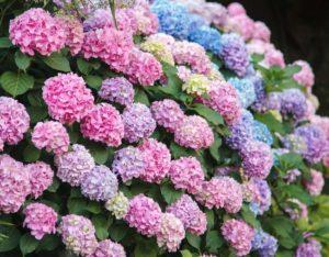 Hortensias - Plantes et fleurs qui fleurissent en hiver - Bioflore